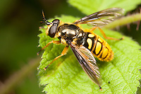 Flower Fly (Somula decora) - Female, a scoliid wasp-mimic, West Harrison, Westchester County, New York