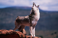 A coyote howls atop a rocky rise.