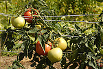 Duane Family Farm .Rick/Tammy Duane .122 Suncook Valley Rd., (Rte. 28) Barnstead 03218 .435-6867 .Tomatoes vine on trellis.