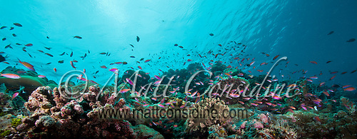 Small fish schooling over colorful reef scene, Palau Micronesia. (Photo by Matt Considine - Images of Asia Collection) (Matt Considine)