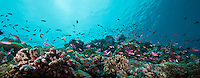 Small fish schooling over colorful reef scene, Palau Micronesia. (Photo by Matt Considine - Images of Asia Collection)