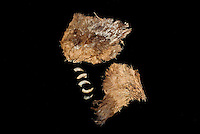 SAVEOCK WATER, CORNWALL, ENGLAND - AUGUST 03: A detail of archaeological finds on August 3, 2008 in Saveock Water, Cornwall, England. The wing feathers of a brown bird and various bird claws from the late Medieval period, were found by archaeologist Jacqui Wood in a pit.  (Photo by Manuel Cohen)