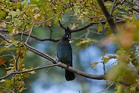 Steller's jay (Cyanocitta stelleri) perched in oak tree.  Western U.S., Fall.