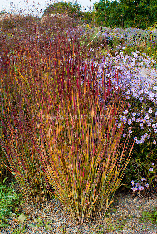 Panicum virgatum 'Heiliger Hain' ornamental grass and blooming Aster turbinellus in autumn fall foliage and flowers planting combination