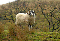 Swaledale ram in the Trough of Bowland, Lancashire.