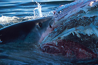 great white shark, Carcharodon carcharias, gorges on carcass of Bryde's whale, Balaenoptera edeni, False Bay, South Africa
