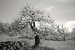 Baldwin Apple tree in blossom at New Salem Preserves orchard in New Salem, MA