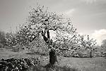 Baldwin Apple tree in blossom at New Salem Preserves orchard in New Salem, MA