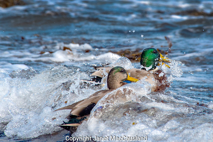 Often considered a bird of quiet ponds, these unusual Mallard Ducks surf the rough waves of the Maine coastline nibbling on sea lice and other small animals in the waves.