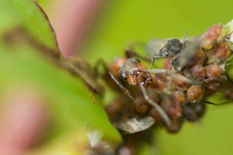 Wood ant, Formica rufa, farming aphids. By protecting the aphids the ants can harvest the sugary solution known as honey dew from the aphids. Sapperton, Gloucestershire. UK.