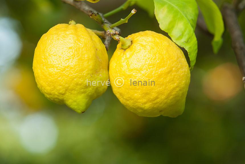 France, Alpes-Maritimes (06), Menton, la collection d'agrumes du palais Carnoles : citron, Citrus limon