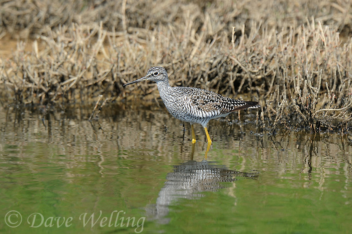 598240031 a wild greater yellowlegs shorebird tringa melanoleuca forages in a small pond in ventura county california united states