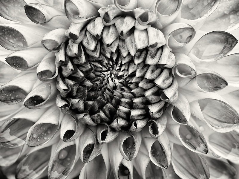 Close up of Dahlia variety Test Garden. Oregon