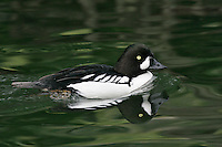 Barrow's Goldeneye - Bucephala islandica - Male