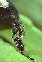 BU22-013a  Bumblebee - hind leg showing baskets of hairs for carrying pollen - Bombus impatiens