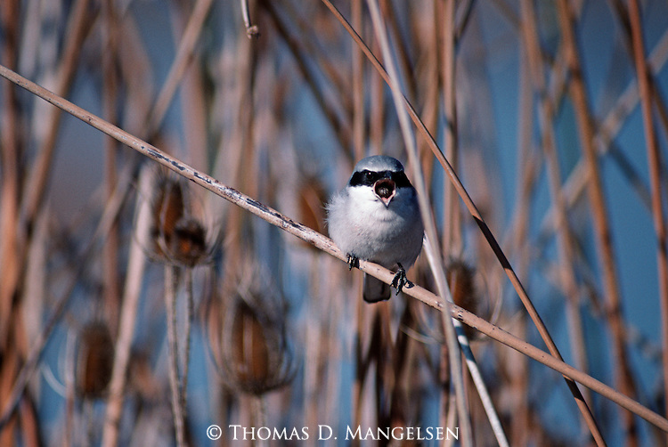 Loggerhead Shrike perched among reeds.