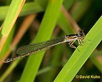 0120-07yy  Damselfly - Enallagma spp. - © David Kuhn/Dwight Kuhn Photography