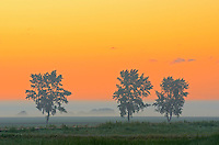 Shelterbelt trees in fog at sunrise<br /> Fannystelle<br /> Manitoba<br /> Canada
