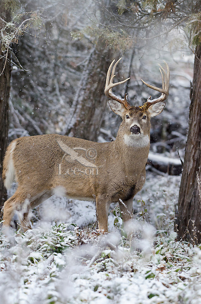 White-tailed Deer buck (Odocoileus virginianus) in snow, Western U.S., Late Fall.