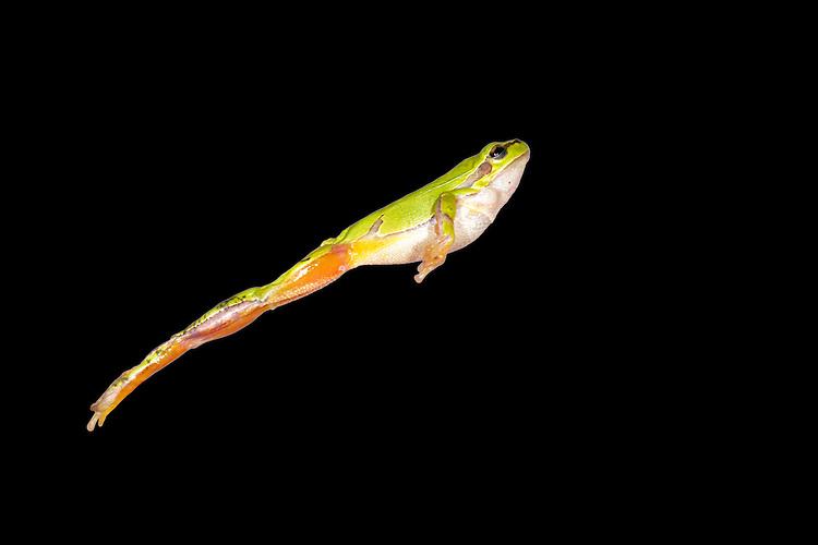 European Tree Frog - Hyla arborea