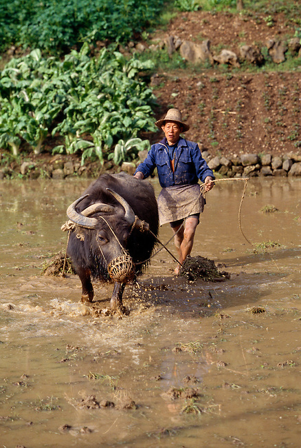 farmer plowing using a water buffalo in flooded paddy in rural area near Wuxi, China,  Asia