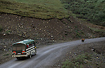 A bus of tourists follows a brown bear down the road in Denali National Park, Alaska