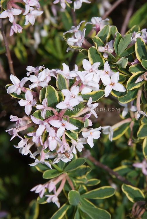 Daphne x burkwoodii 'Carol Mackie' in bloom