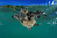 olive ridley sea turtle hatchling, Lepidochelys olivacea, takes its first swim in the ocean, Ostional, Costa Rica, Pacific