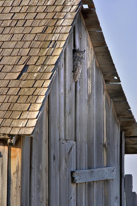 Great Horned Owl in barn opening. Summer Lake State Wildlife Refuge. Oregon