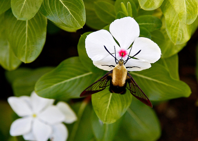 A Snowberry Clearwing Hummingibird moth, that looks a lot like a bumblebee, feeding on a white impatient. The moth's probiscus is inserted into the red center of the flower and its clear wings stand out against the green leaves. The Snowberry Clearwing is similar to the larger Hummingbird Clearwing Moth(Hemaris thysbe).