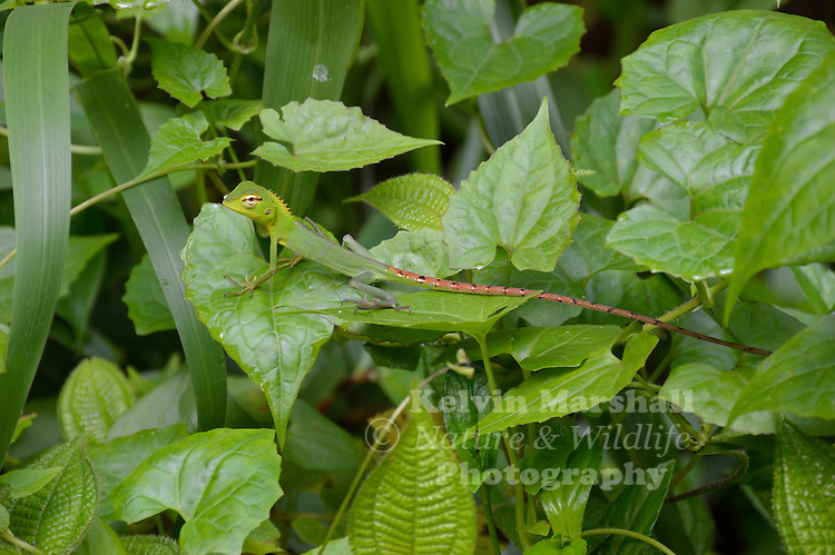 Green Garden Lizard (Calotes calotes) -  is an agamid lizard found in the forests of the Western Ghats and the Shevaroy Hills in India, and Sri Lanka. Calotes is the largest agamid lizard genus in the country and is represented by seven species. Sinharaja Forest Reserve, Sri Lanka.
