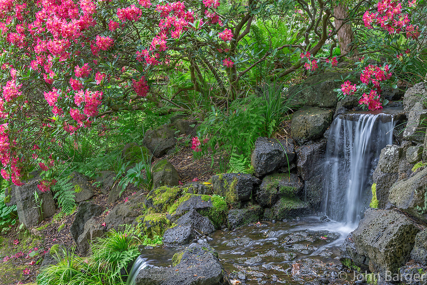 ORPTC_183 - USA, Oregon, Portland, Crystal Springs Rhododendron Garden, Light red blossoms of rhododendrons in bloom alongside waterfall.