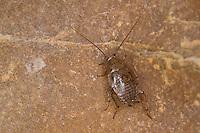Waldschabe, Ectobius pallidus, Ectobius lividus, Ectobius livens, Spotted Mediterranean Cockroach, ectobid cockroach, Waldschaben, Schaben, Blattoptera, ectobid cockroaches