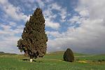 Israel, Cypress trees (Cupresus Sempervirens) in Menashe Heights