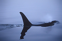 Orca surfacing for air