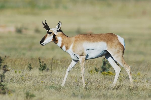 Pronghorn, Antilocapra americana, male walking, Lubbock,Texas, USA