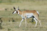 Pronghorn, Antilocapra americana, male walking, Lubbock,Texas, USA