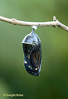 MO03-007c   Monarch Butterfly - developing chrysalis ready to hatch butterfly - Danaus plexippus