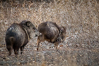 A Peccary or Javelina Hog at Bosque del Apache National Wildlife Refuge in New Mexico.