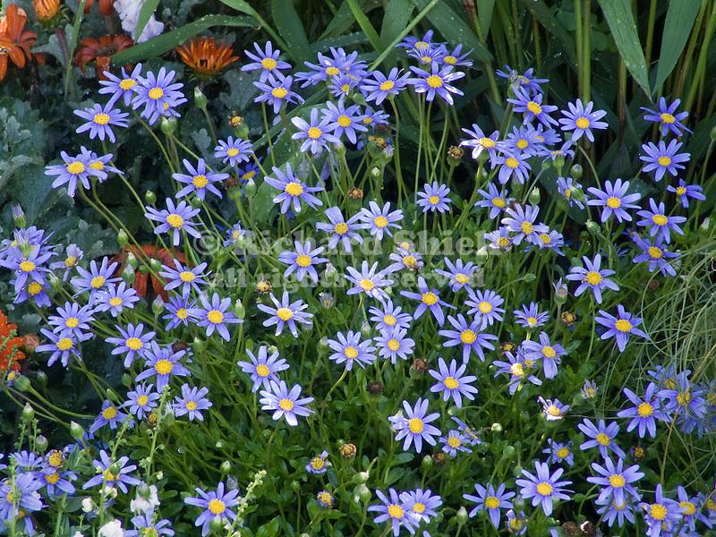 Cape Town Blue Daisy, Felicia amelloides at Bonsall, CA USA