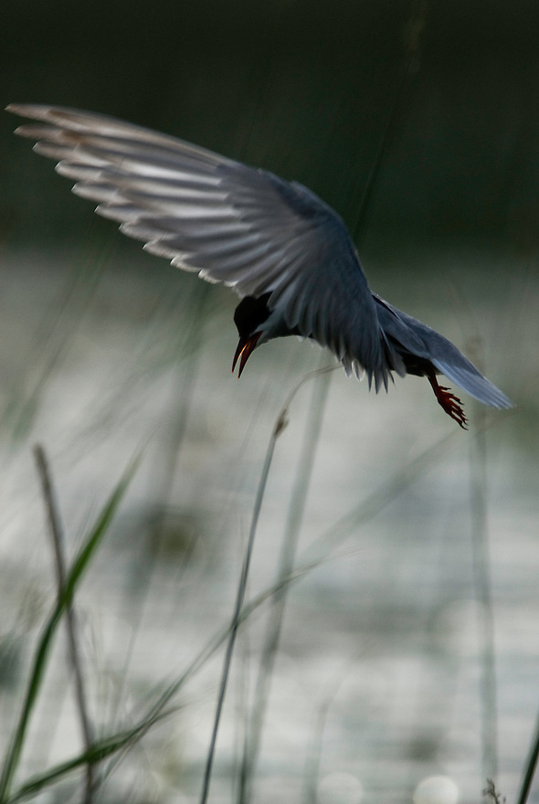 Whiskered Tern, Chlidonias hybrida, Lake Skadar National Park, Montenegro