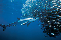 blue shark, Prionace glauca, attacking on baitball of California anchovy, northern anchovy, Engraulis mordax, California, USA, Pacific Ocean