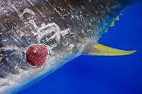 fresh circular wound caused by cookiecutter shark or cigar shark bite, Isistius brasiliensis, on belly of bigeye tuna, Thunnus obesus, caught off Kona Coast, Big Island, Hawaii, USA, Pacific Ocean