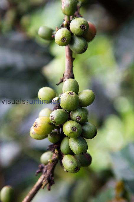 Coffee beans on plant, Kenya