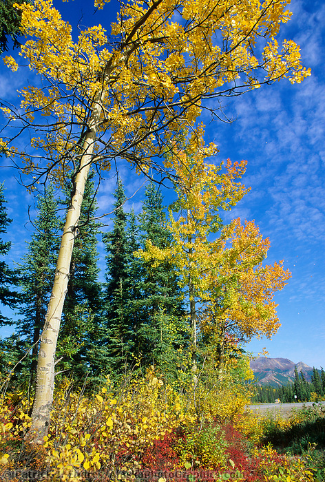Quaking Aspen trees, Denali National Park, Alaska