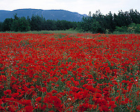 Poppy Fields, Provence Regional Natural Park, Provence, France     UNESCO World Heritage Site   Near Luberon Mountains