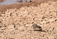 A Killdeer, Charadrius vociferus, rests on the shore of a lake in the Riparian Preserve at Water Ranch, Gilbert, Arizona