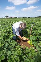 Digging and sampling potatoes - Lincolnshire, July