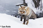 Red fox (cross) in snowfall. Grand Teton National Park, Wyoming.