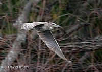 0117-08rr  Flying Juvenile Black-crowned Night Heron - Nycticorax nycticorax © David Kuhn/Dwight Kuhn Photography